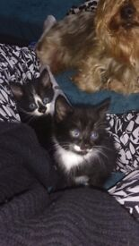 2. 9 week old black and white kittens