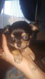 gorgeous Chihuahua trio puppy boy