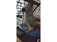 African grey female lovely tame bird. 1.5years old. Talking.