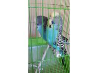 RAINBOW EXHIBITION BUDGIES PAIR, VERY ACTIVE AND LARGE SIZE FLUFFY SHOW BUDGIES, EXCELLENT FEATHERS