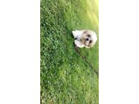 Gorgeous shih tzu male puppy!