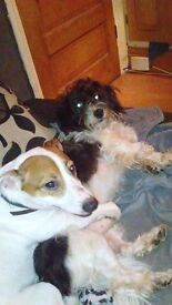 2 Year Old Jack Russell needs a loving home.