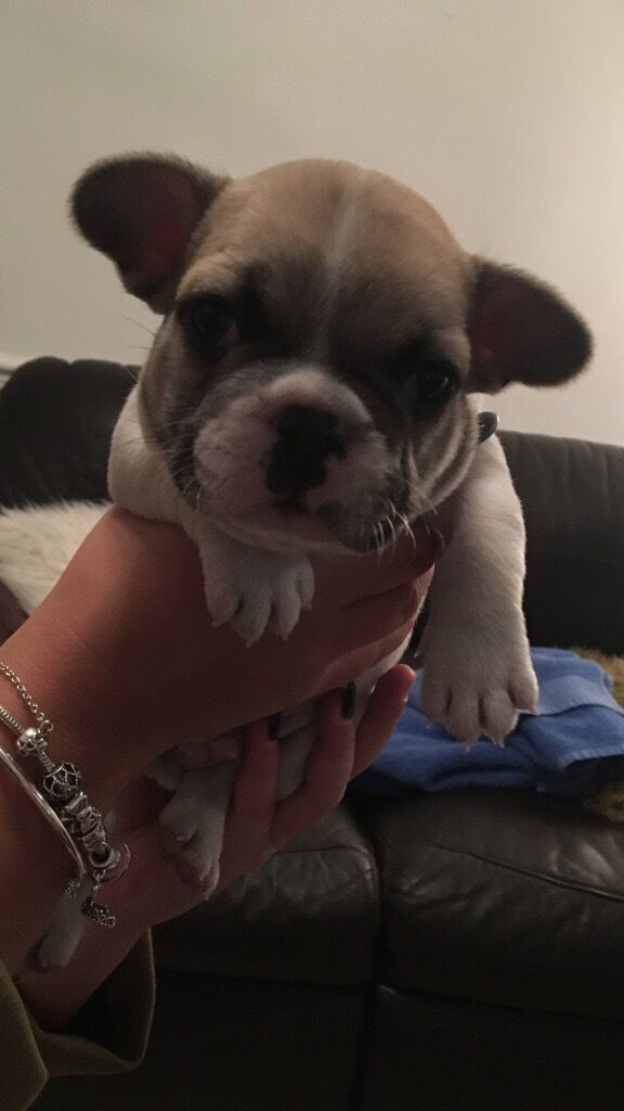 FOR SALE - French Bulldog Puppies