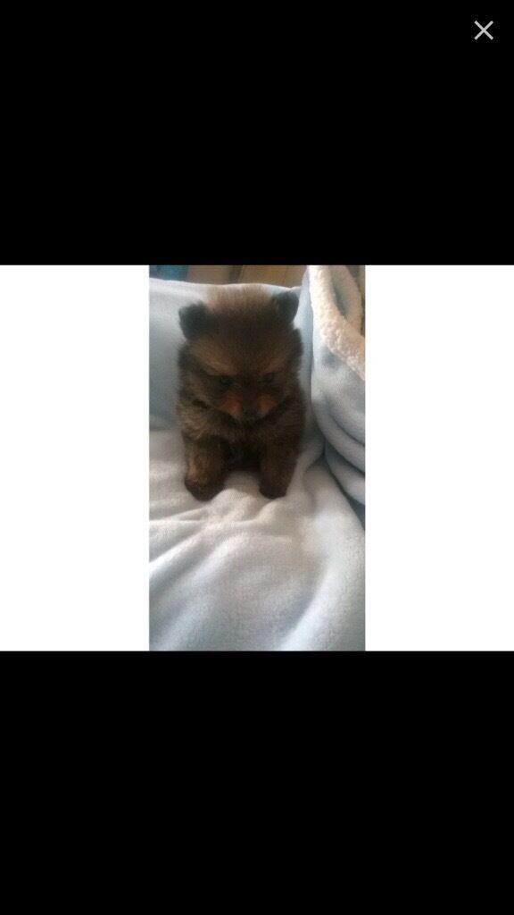 Tea cup pomeranian puppy
