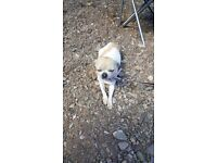 Female Chihuahua