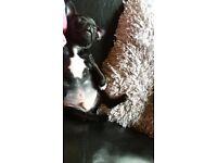 jug puppy