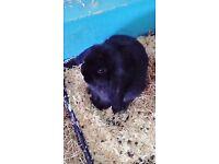 Black buck baby mini lopped rabbit