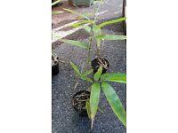 Green Bamboo (Phyllostachys vivax)