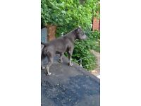 Blue staffy female