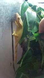 female crested gecko for sale and setup