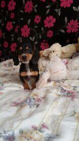 Miniature dachshund babies