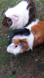 2 Male guinea pigs with large 2 tier cage