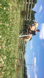 WELSH SEC D PALOMINO **FOR SALE**