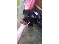 Lovely male Dachshund pupy