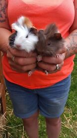 Baby guinea pigs for sale handled daily by children, make great pets, sold in pairs £20 ,