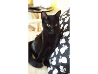 "LOST Black Cat ""Mylo"" £100 REWARD for safe return. Last Seen Dalziel Park, Nr Carfin"