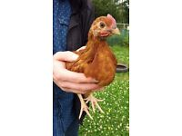 Young roosters (chicks) chickens poultry fowl