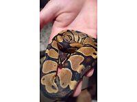 cb 16 royal python 100% het for albino