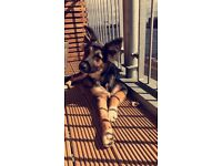 Collie x German shepherd puppy