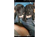Shar pei pups