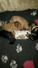 Beautiful litter of cavalier king Charles puppies