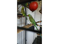 Two Beautiful Talking Young Green Indian Ringneck Parrots, Huge Cage Included. They say HELLO!