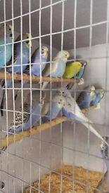 Baby budgerigars all birds sold