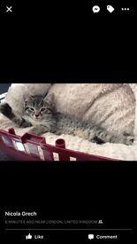 Female kitten 9 weeks old litter trained