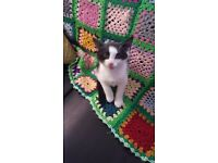male black and white kitten for sale