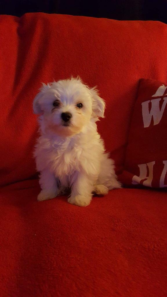 Havanese puppies for sale | in Grantham, Lincolnshire | Gumtree