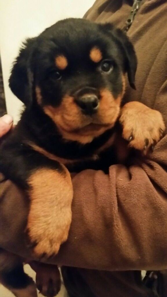 Rottweiler 10 Week Old Bitch Female Puppy Called Roxy Not Boxer