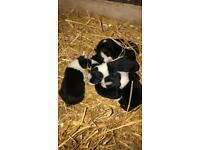 1 border Collie puppie left