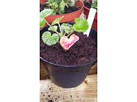 Geranium - Red - Live young plant