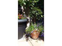 The BIG Plant Pot Sale, includes Kumquat (Citrus Family) Plant in Terracotta Pot