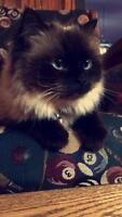 FEMALE HIMALAYAN CAT FOR SALE