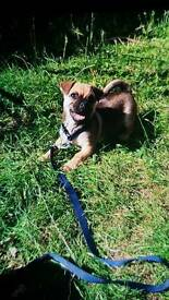 Half pug/half Chihuahua puppy