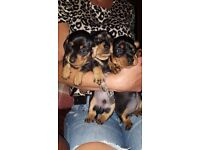 Miniature Dachshund Puppies For Sale Black & Tan x3 girls x1 boy