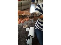 Royal Python hatchlings 40-50pound each