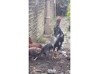 Very good quality aseel asil birds not shamo