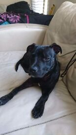 8 month male staffy for sale