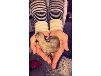 Chihuahua puppies adorable