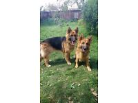 Two one year old fifth generation German Shepherd for Sale