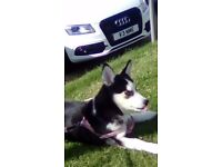 14 week old sib husky puppy for sale been wormed chipped full vacs stockton on tees area