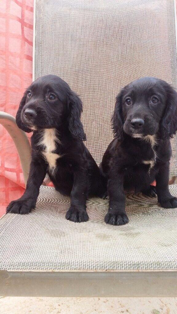 Sprocker Spaniel Puppies In Poole