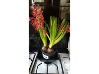 Bulb house plants / outdoor plants - nice selection, healthy!