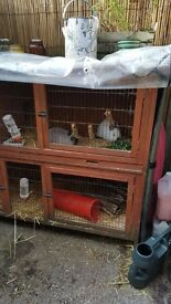 Two female dwarf rabbits