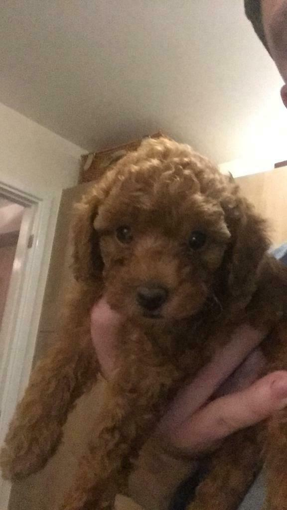 Red Toy Poodle Puppies Ready To Go In Newcastle Under Lyme Staffordshire Gumtree