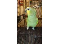 Orange-wing Amazon Parrot with large cage