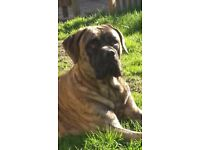 Cane Corso 21 months old Tiger Brindle markings and neutered