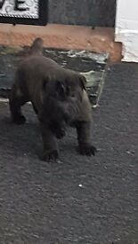Stunning Shar Pei pup for sale *ready now*